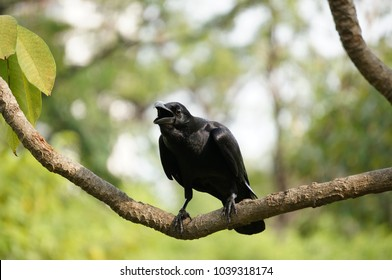 A carrion crow perched on a branch, Corvus macrorhynchos, A crow chirping on the tree, thai crow