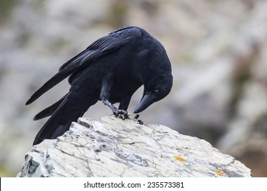 Carrion Crow which sits on a rock on the beach and eats