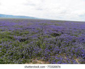 Carrizo Plain National Monument Wildflower Super Bloom March 2017 - purple flowers far and wide