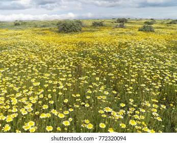 Carrizo Plain National Monument Wildflower Super Bloom March 2017 - vast yellow wildflowers