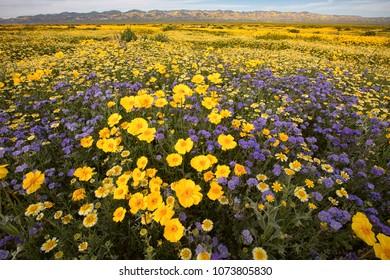 Carrizo Plain Super bloom, California, USA
