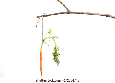 Carrot bait tied to stick, isolated on white