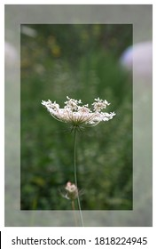 The carrot -Daucus carota is a herbaceous plant with a green stem belonging to the Apiaceae family;  its name derives from the Greek Karotón.