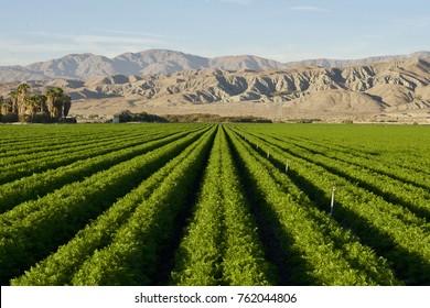 Carrot field in Indio Californian Desert in November