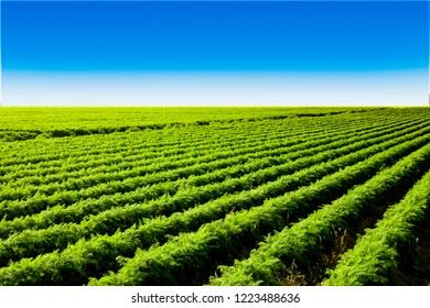 carrot field in the Netherlands, full of healthy vegetables