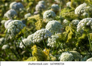 Carrot flower on blur background . Queen Anne's Lace (Daucus carota), also known as wild carrot, bird's nest
