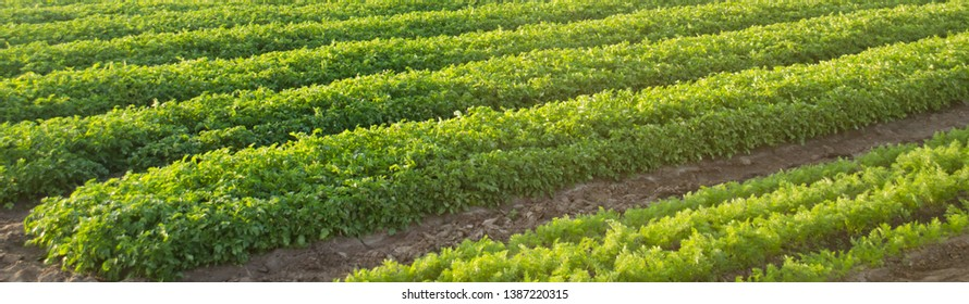 Carrot plantations grow in the field. Agriculture. Organic vegetables. Vegetable rows. Farming. Banner. Selective focus