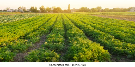Carrot plantations in the sunset light. Growing organic vegetables. Eco-friendly products. Agriculture and farming. Plantation cultivation. Selective focus