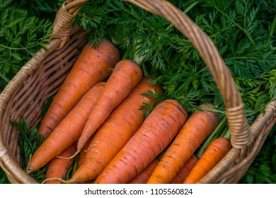 Carrots in the basket, healthy eating and agriculture concept