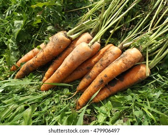 Carrots dug, on the grass in the garden.