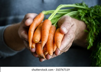 Carrots in farmers hands