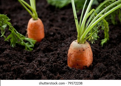 Carrots in the field