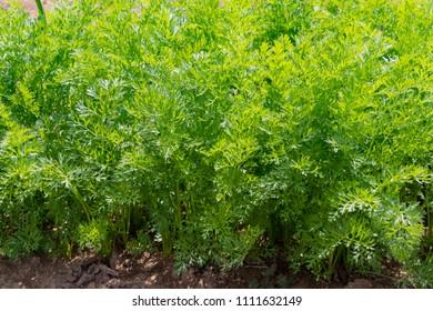 Carrots fields in early summer
