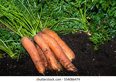 Carrots freshly pulled from a urban Garden