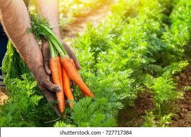 Carrots in gardener hands. Carrot picking in the garden.