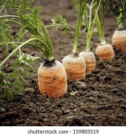 Carrots in the ground. Big and ripe vegetables.