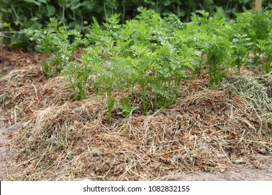 Carrots grow on a bed under mulch from dried mown grass. The paths are made of tiles. A garden plot for farming.