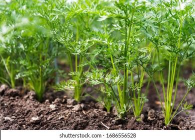 Möhren, die in den Betten im Bauernhof wachsen, Möhren, die über dem Schimmel stehen, Gemüse, das in Reihen gepflanzt wird. Ökologischer Landbau, Landwirtschaftskonzept