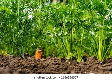 Carrots growing in the beds in the farmers field, carrots  sticking out above the mold, vegetables planted in rows. Organic agriculture, farming concept