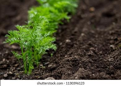 Carrots Growing in a home Garden