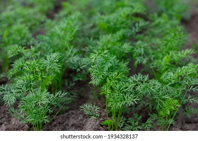 Carrots growing in a home garden. Young seedlings of carrots growing on a farm bed. Organic farming concept. Selective focus.