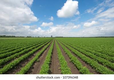 Carrots growing on a field in summer
