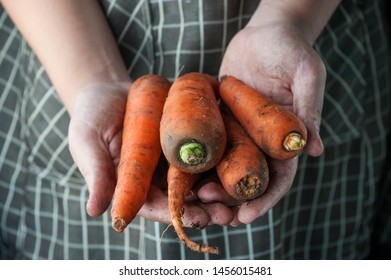 carrots in the hands stained in the ground