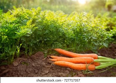 Carrots on garden ground.Carrot harvest season in the garden.