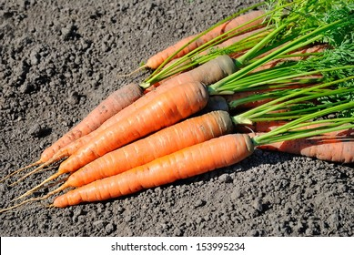 Carrots on ground in the vegetable garden