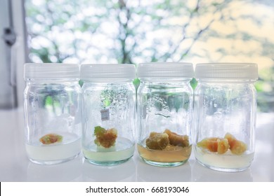 Carrots plant tissue culture in the laboratory, lab tissue in university,
