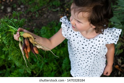 Carrots from small organic farm. Kid farmer hold multi colored carrots in a garden. Concept for bio agriculture.