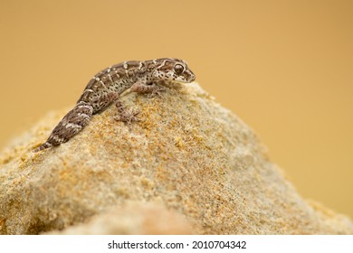 Carrot-tail viper gecko (Hemidactylus imbricatus) is a species of gecko. It is found in Iran, Pakistan and possibly India
