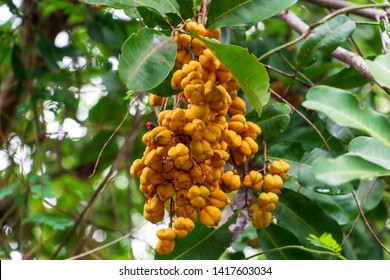 Carrotwood a.k.a. tuckeroo (Cupaniopsis anacardioides) orange fruit closeup - Pine Island Ridge Natural Area, Davie, Florida, USA
