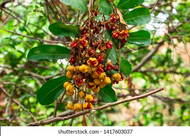Carrotwood a.k.a. tuckeroo (Cupaniopsis anacardioides) fruit and seeds closeup - Pine Island Ridge Natural Area, Davie, Florida, USA