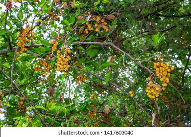 Carrotwood a.k.a. tuckeroo (Cupaniopsis anacardioides) - Pine Island Ridge Natural Area, Davie, Florida, USA