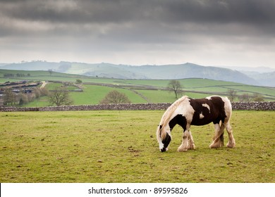 Cart horse in field grazing against a back drop of dry stone walls and rolling countryside.