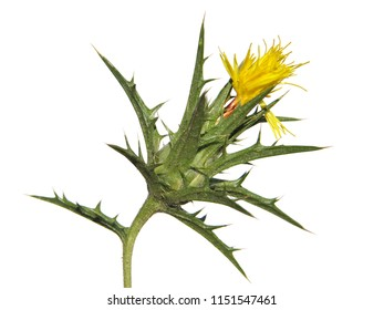 Carthamus lanatus known as woolly distaff thistle, downy safflower or saffron thistle isolated on white