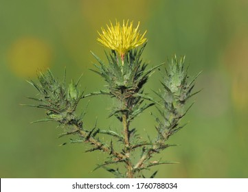 Carthamus lanatus known as woolly distaff thistle, downy safflower or saffron thistle