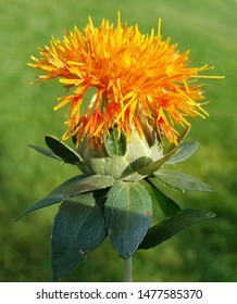 Carthamus safflower, is a thistle with orange flowers. It is an important medicinal plant and a fawn plant and is used in medicine.
