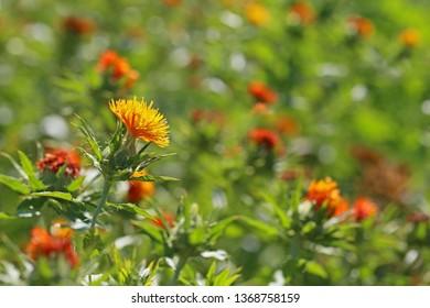 Carthamus tinctorius flower