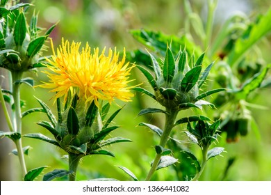 Carthamus tinctorius (Safflower, False saffron, Saffron thistle) ; A colorful of flowering together into a bunch at flower heads. Supported by hard ornamental leaves which sharp thorns at leaf edge.