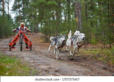 Carting dog mushing race. Husky sled dog pulling the cart. Dryland crosscountry mushing autumn competition.