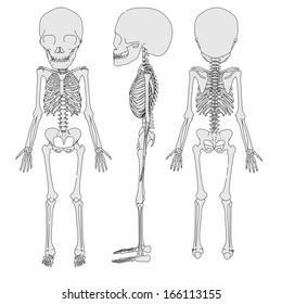 cartoon image of 2 years old skeleton