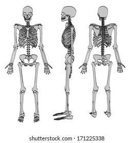 cartoon image of male skeleton