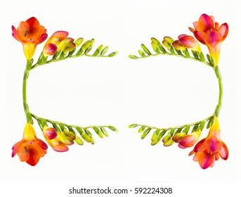 cartouche of beautiful fressia flower isolated on white background