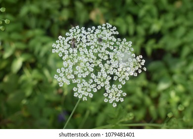 Carum Carvi flowers (caraway or meridian fennel)