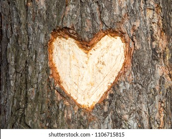 carved heart on pine tree. romantic and love symbol