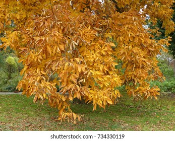 Carya ovata, the shagbark hickory, in autumn. Juglandaceae family.