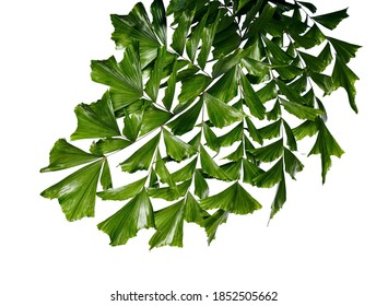 Caryota obtusa leaves (Giant fishtail palm), Beautiful palm leaf, Tropical foliage isolated on white background with clipping path