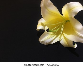 Casablanca lily flower design template in black background